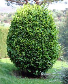 Bay Tree • Laurus nobilis • Bay Laurel • Sweet Bay, Roman laurel, Royal bay • Plants & Flowers • 99Roots.com