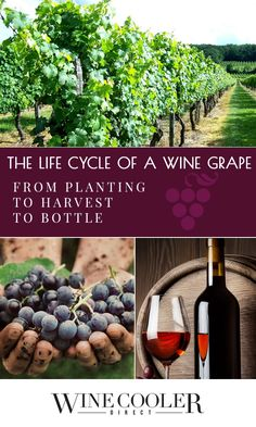 The Life Cycle of a Wine Grape: From Planting to Harvest to Bottle - From…
