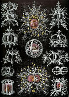 Haeckel Stephoidea - Kunstformen der Natur - Wikipedia, la enciclopedia libre