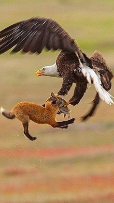This looks like a bald eagle and a fox both are claiming the same rabbit.  I wonder which predator won that battle -- and I'm guessing it was the eagle.  Sooner or later, one of them was going to have to let go.