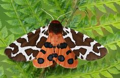 10 Fascinating, Little-Known Moth Facts tiger moth Caterpillar Tattoo, Wooly Bear Caterpillar, Tiger Species, Moth Species, Nocturne, Colorful Moths, Tiger Moth, Pet Snake, Insects