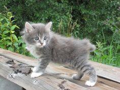 Kurilian Bobtail Kitten Images