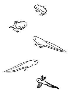 L'évolution du têtard à la grenouille, à colorier.