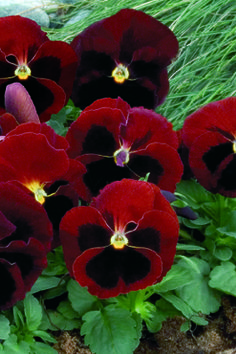 Red with Blotch - Pansy - Viola wittrockiana