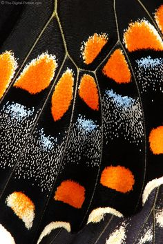 Butterfly Wing Closeup Picture:  For more images with commentary visit us at www.The-Digital-Picture.com/gallery