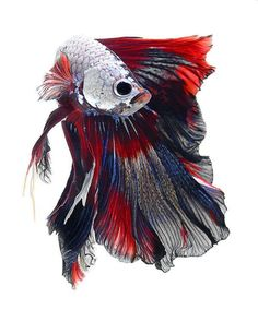 Visarute Angkatavanichis the photographer behind these exceptional close-ups of Siamese fighting fish. Scientifically known as betta splendens, they have been