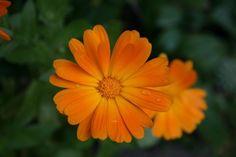 Nechtík lekársky je kvetina, ktorá má veľmi príjemnú vôňu. No jej krásny vzhľad a vôňa nie sú jej jediné prednosti. Poďme sa pozrieť aj na liečivé schopnosti tejto rastliny.