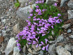 Full-Sun Perennial Flowers | penstemon davidsonii zone 4 8 light full sun plant type