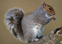Grey squirrel - F.jpg - Grey squirrel - Forest of Dean