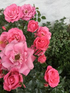 """The cluster rose """"Bella Rosa"""" is blooming late August 2015 in my garden Margeritten - by Inger Johanne"""