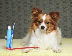 Your Pet's Pearly Whites -- Brushing your Pet's Teeth