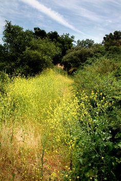 Wild Mustard Field (edible)  www.urbanoutdoorskills.com