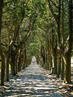 Avenue of trees. Rhodes, Greece.