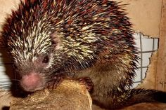 New porcupine species discovered in Brazil- & it's already endangered. Sad. How many more species won't we discover before we destroy them?! ~w