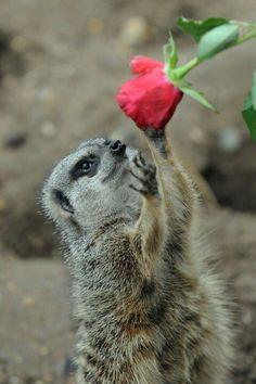 14 Best Meerkats Gone Wild Images Wild in Cute Funny Animals With Flowers Cute Funny Animals, Cute Baby Animals, Funny Cute, Animals And Pets, Wild Animals, Small Animals, Cute Animal Videos, Funny Animal Pictures, Animal Pics