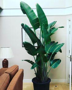 Schitterende grote Strelitzia Nicolai geleverd van 250 cm hoog. Ben je ook op zoek naar een grote kamerplant? Dan bent u bij ons aan het juiste adres!