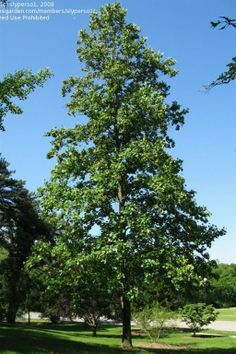 "Chicago, Illinois Landscaping: Buy Tulip Trees Online One of the tallest native trees of eastern North America, Tulip Tree features uniquely shaped leaves and large yellow tulip-shaped flowers.  2"" caliper  $300"