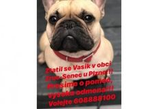 Buldoček Vašík je v nebezpečí! Pomozte při jeho hledání Web Foto, Seo Marketing, French Bulldog, Animals, Animales, Animaux, French Bulldog Shedding, Bulldog Frances, Animal