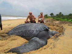 Giant Leatherback Sea Turtle