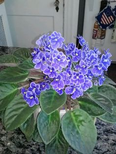 African violet-my mom grew these. I can hear her say to be sure to put it in a north window.