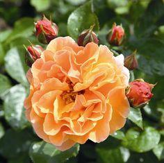 (Rosen Tantau 2010) Herausragend gesunde,  dunkelorangefarbige , klassische Strauchrose. Die gut gefüllten Blüten erscheinen in kompakten Dolden, die sehr lange haltbar sind. Sie verblassen im späten Verblühen von  dunkelkupferorange...