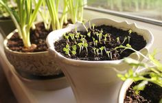 Growing your own vegetables, herbs, and even fruit doesn't take much space, and it can become a rewarding hobby. Here are 15 foods, from beans and basil to strawberries and scallions that you can start growing in containers now. Growing Lettuce, Growing Tomatoes, Easy Garden, Indoor Garden, Planter Des Roses, Best Herbs To Grow, Best Tasting Tomatoes, Sprouting Seeds, Starting Seeds Indoors