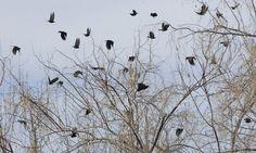 Wharton: Murders (of crows) increase in northern Utah   The Salt Lake Tribune