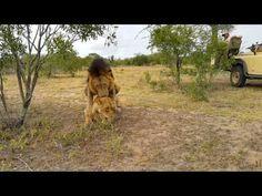 Mating lions (Manjilane male and Othawa lioness)