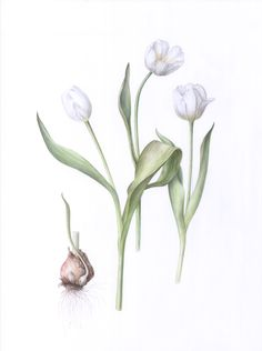 White tulip botanical illustration in watercolor Botanical Art, Botanical Illustration, Color Test, Plant Drawing, White Tulips, Painting Process, Botany, Art Forms, Bloom