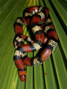 Florida Scarlet Snake