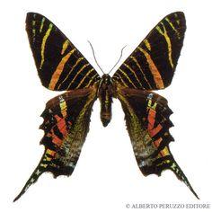 LepidopteraVaria: Urania sloanus, veramente estinta?