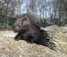 african crested porcupine baby by bitterootfarm, via Flickr