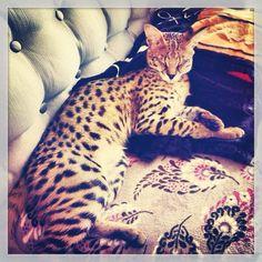 cat, savannah cat, f1savannahcat