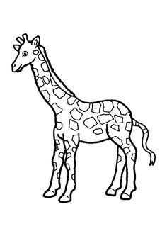 giraffes are large sized mammals known for their long necks and distinct coat patterns - Giraffe Pictures To Color