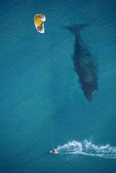 Una ballena nada al lado de un kitesurfista