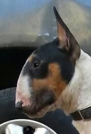 bull terrier egg head