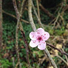 【wacafegalway】さんのInstagramをピンしています。 《Found the first blossom🌸 Look like a little baby smiling...so cute Kawaii!! Do you know what this tree is? Plum? Cherry blossom or almond?? 🌸最初の花が咲いていました。まるで赤ちゃんが笑っているかのように可愛い🌸 何の花なのかなぁ?梅っぽいけど???この国に梅あったけ?  #wacafegalway#first#blossom#spring#smile#cherryblossom#plumblossom#almondblossom#somethingelse#?#アイルランド#ゴールウェイ#春#梅#桜#アーモンド#花#何だろう》