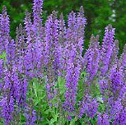 Flowers That Grow in Scotland | Salvia nemorosa 'Marcus', Meadow sage 'Marcus', Balkan clary 'Marcus ...