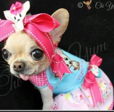 Effective Potty Training Chihuahua Consistency Is Key Ideas. Brilliant Potty Training Chihuahua Consistency Is Key Ideas. Chihuahua Clothes, Teacup Chihuahua, Chihuahua Puppies, Cute Puppies, Cute Dogs, Dogs And Puppies, Chihuahuas, Doggies, Sweet Dogs