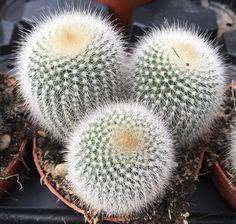 Cacti And Succulents, Cactus Plants, Cactus Names, Plant Shelves, Rare Flowers, Houseplants, Garden Landscaping, Dandelion, Catus