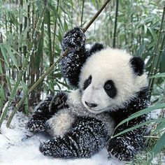 Cute baby panda Photography by ©pandathings #Wildgeography