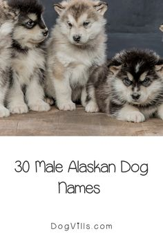 60 Stunning Alaskan Dog Names for Male & Female Pups - DogVills Husky Breeds, Dog Breeds, New Puppy, Puppy Love, Alaskan Dog, Boy Dog Names, Puppy Chow, Dog Signs, Dog Training