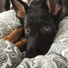 German Shepherd Fan Page - #gsd#germanshepherdsofinstagram…