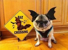 I'm bat-pug