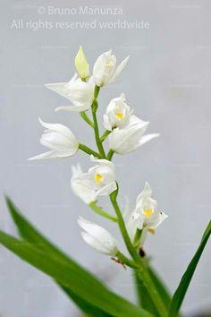 Orchid wild of Sardinia -orchidea selvatica di Sardegna