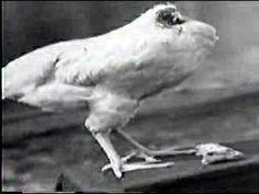 La gallina sin cabeza