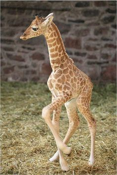 Baby giraffe first steps