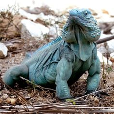 The blue iguana or Grand Cayman iguana is an endangered species of lizard of the genus Cyclura endemic to the island of Grand Cayman. The blue iguana is one of the longest-living species of lizard. The record is 67 years.
