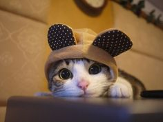 """""""heyfunniest:  LOOK LOOK HOW FUCKING PRECIOUS THIS CAT IS I'M GOING TO CRY THIS BLOG. THIS!  """""""
