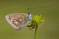 Common Blue (Polyommatus icarus) by Matt Latham on 500px